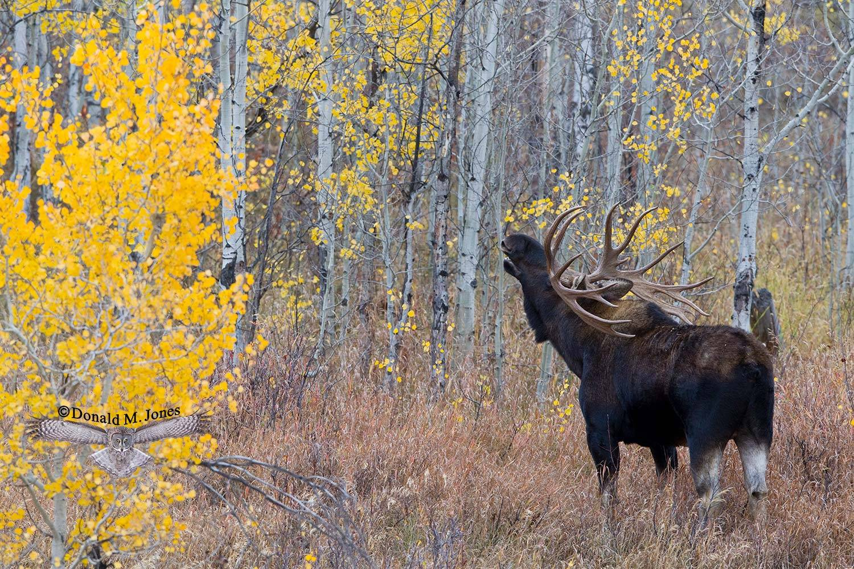 Moose03933D