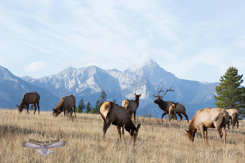 Elk-(Rocky-Mtn)23831D