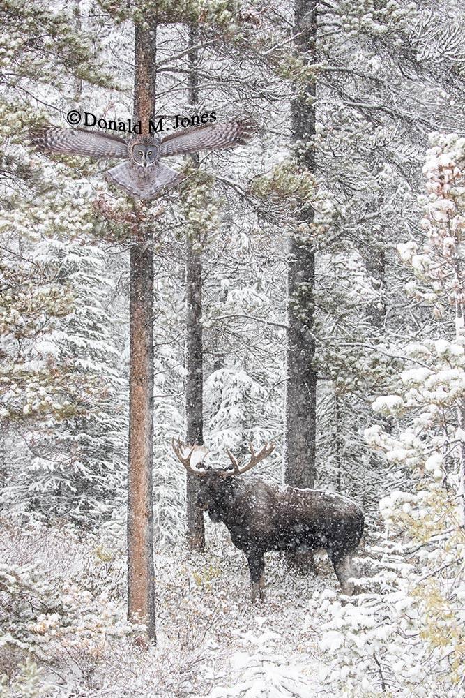 Moose06656D