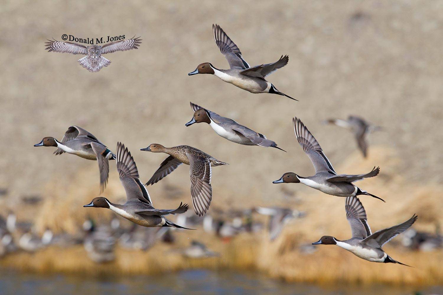 Northern-Pintail1627D