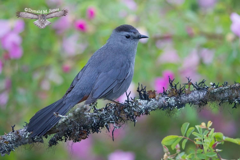Gray-Catbird0251D