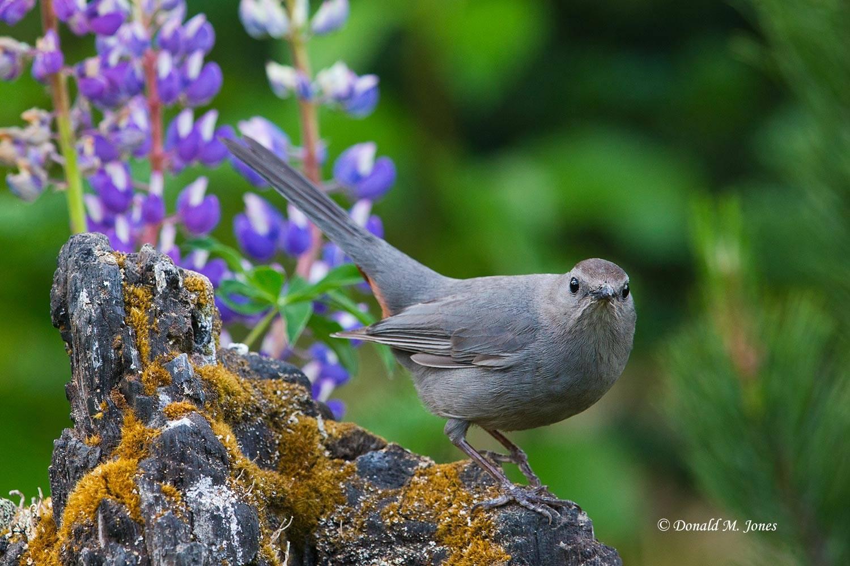 Gray-Catbird0158D