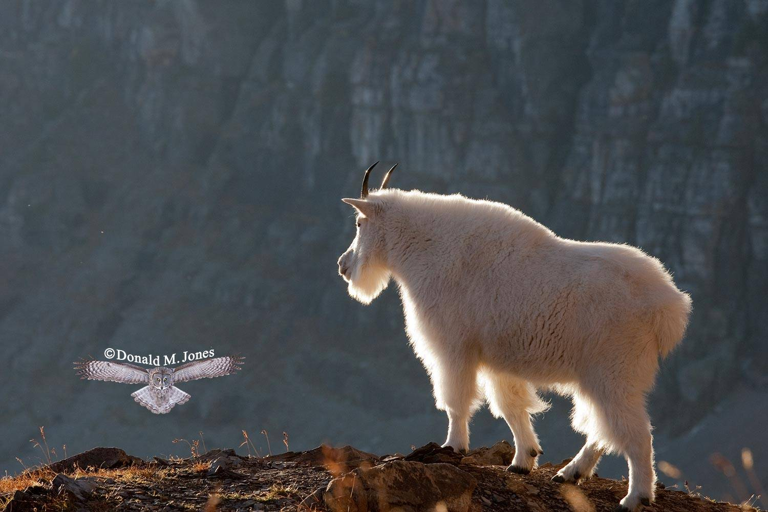 Mountain-Goat02075D