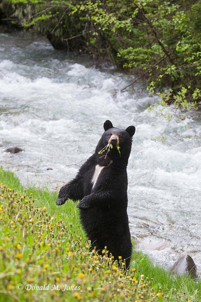Black-Bear06549D