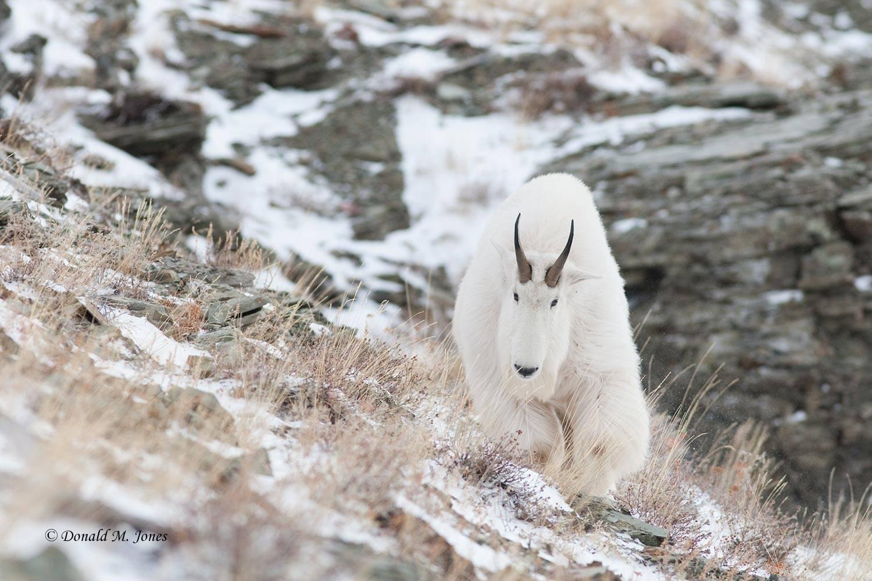 Mountain-Goat02236D