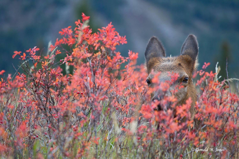 Elk-(Rocky-Mtn)22743D