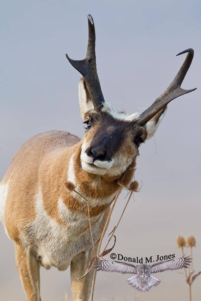 Pronghorn-Antelope03892D