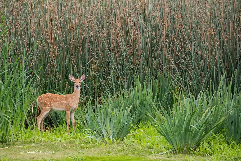 Whitetail-Deer59000D