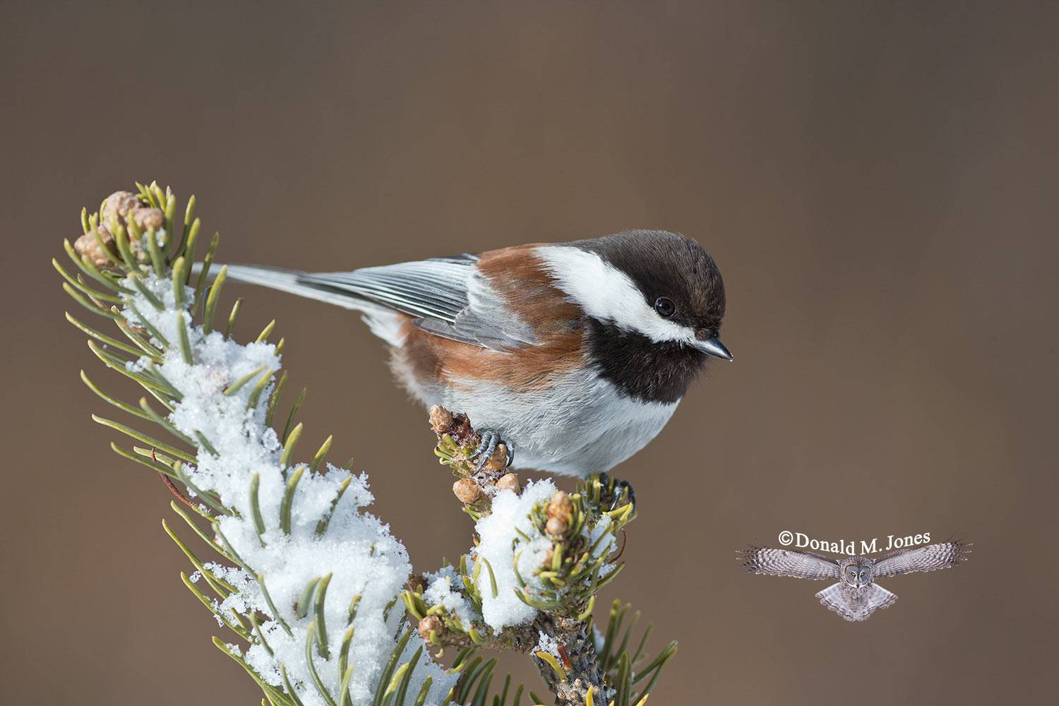 Chestnut-backed-Chickadee0330D
