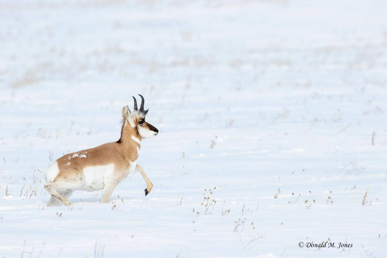 Pronghorn-Antelope05626D