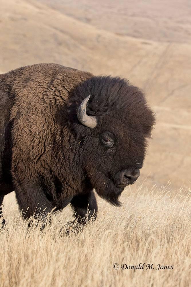 American-Bison01856D