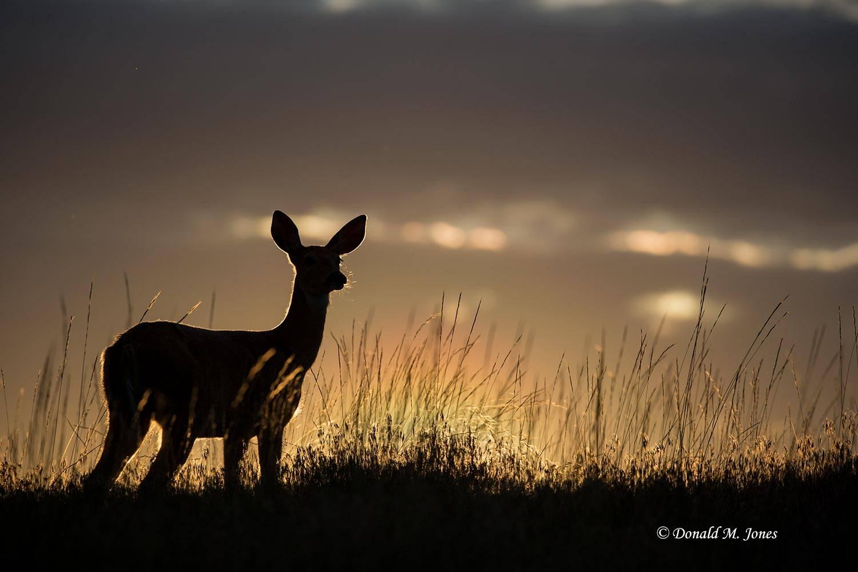 Whitetail-Deer55333D