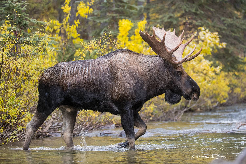Moose06244D
