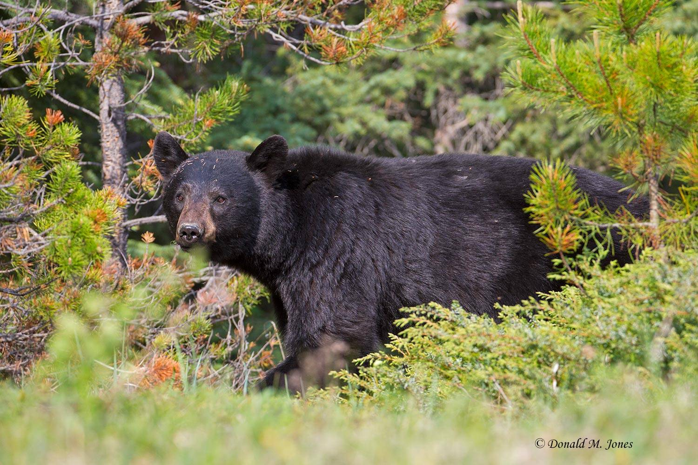Black-Bear07042D
