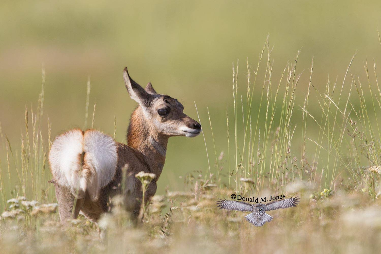 Pronghorn-Antelope05016D