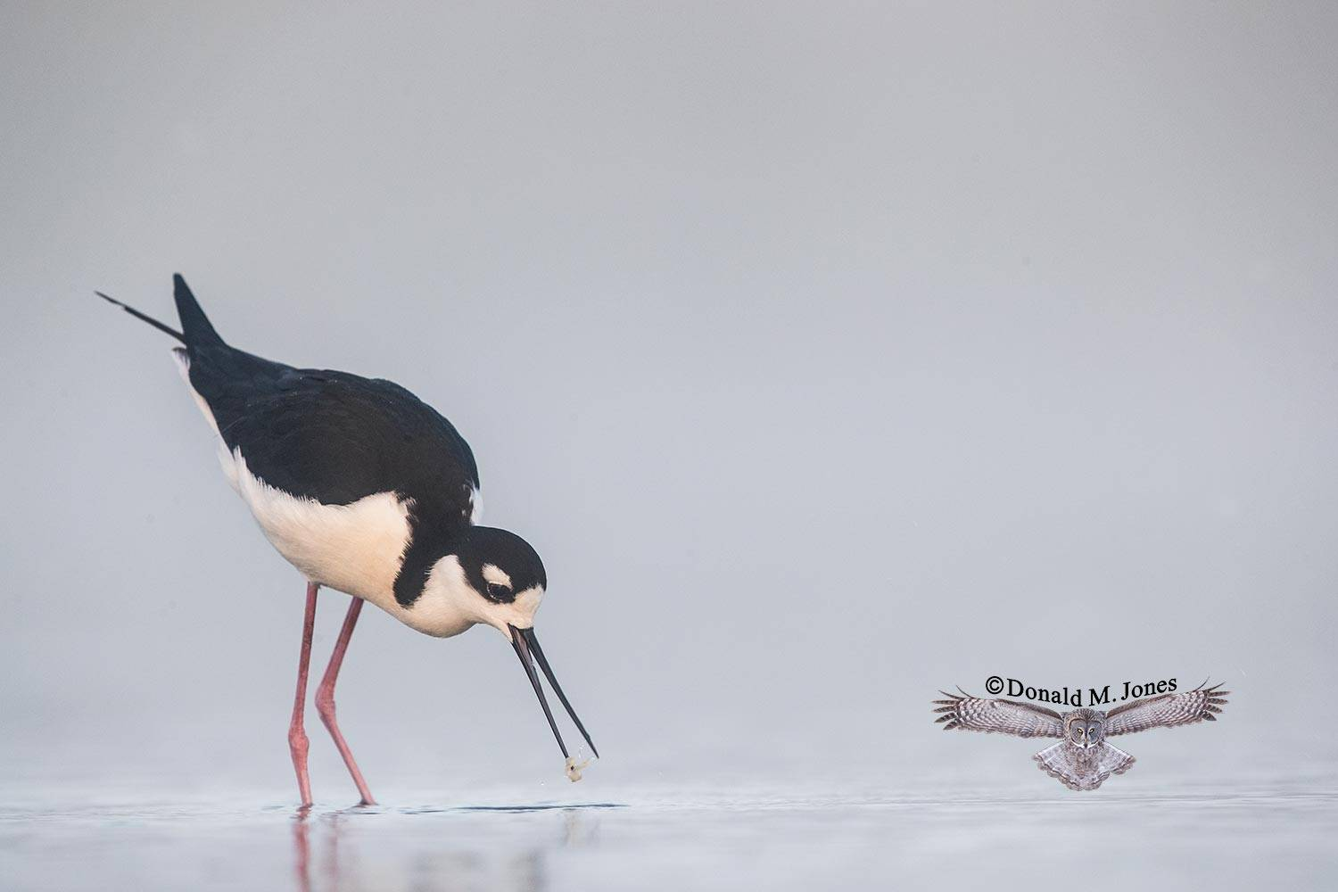 Black-necked-stilt0130D