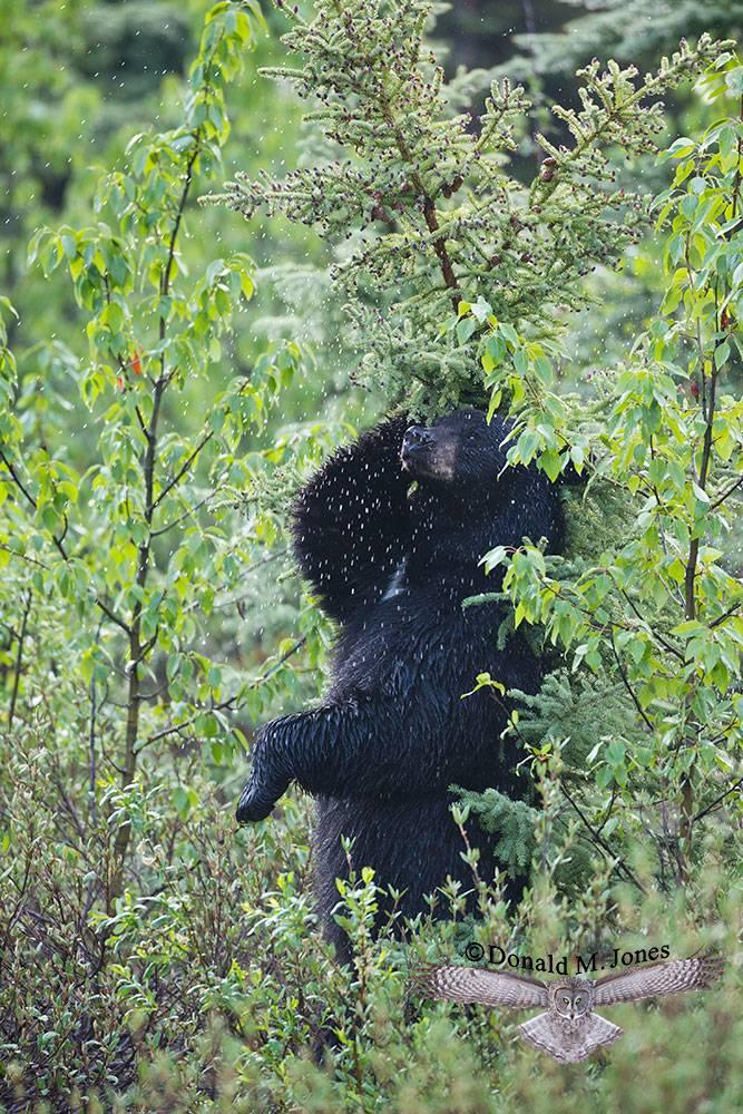 Black-Bear07011D