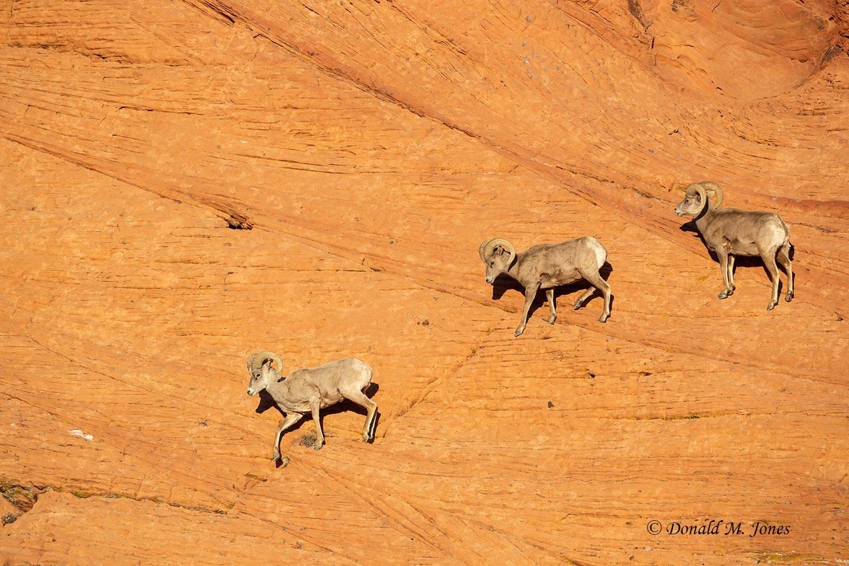 Desert-Bighorn-Sheep01268D