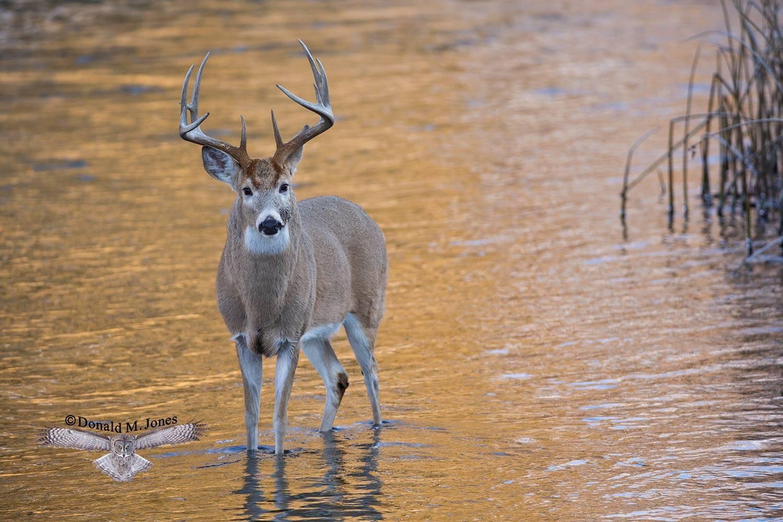 Whitetail-Deer52058D