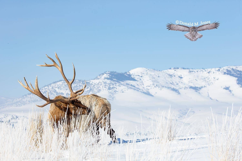 Elk-(Rocky-Mtn)26552D
