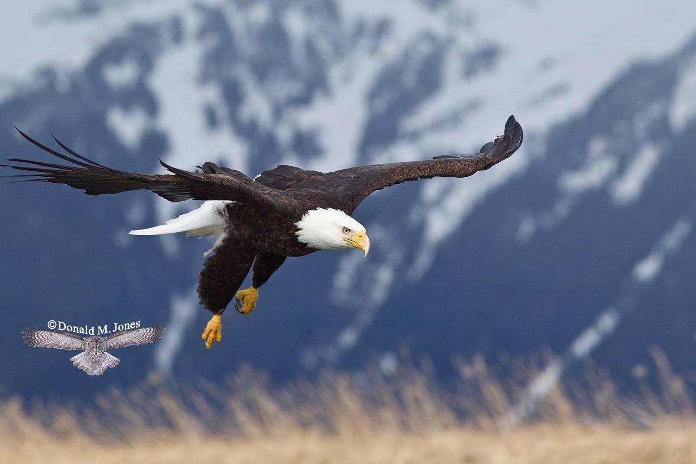Bald-Eagle0796D