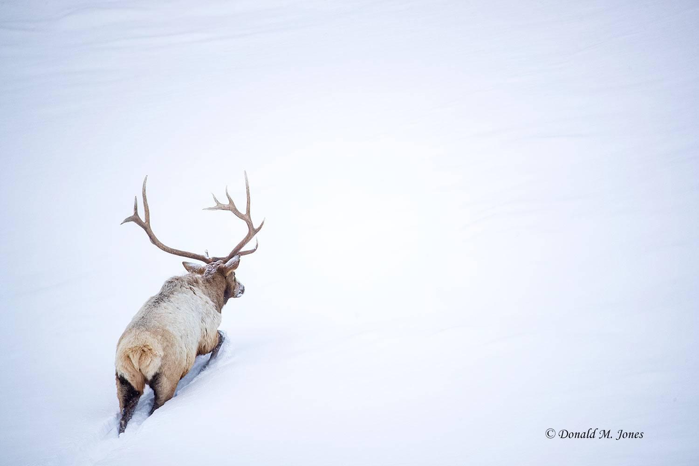 Elk-(Rocky-Mtn)26425D