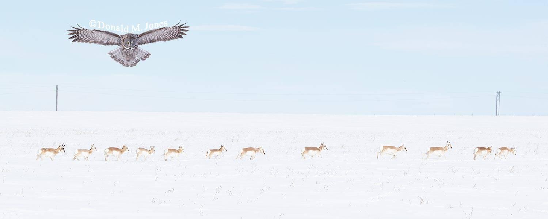 Pronghorn-Antelope05605D
