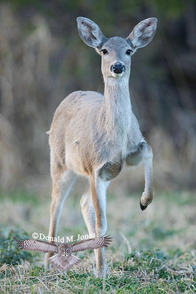 Coues-Whitetail-Deer1265D