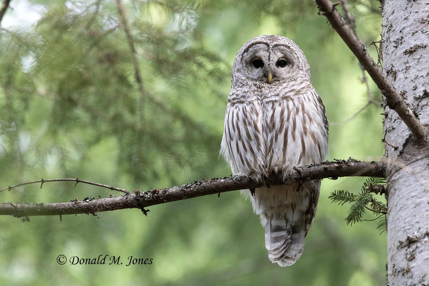 May 28 - Barred Owl0245D