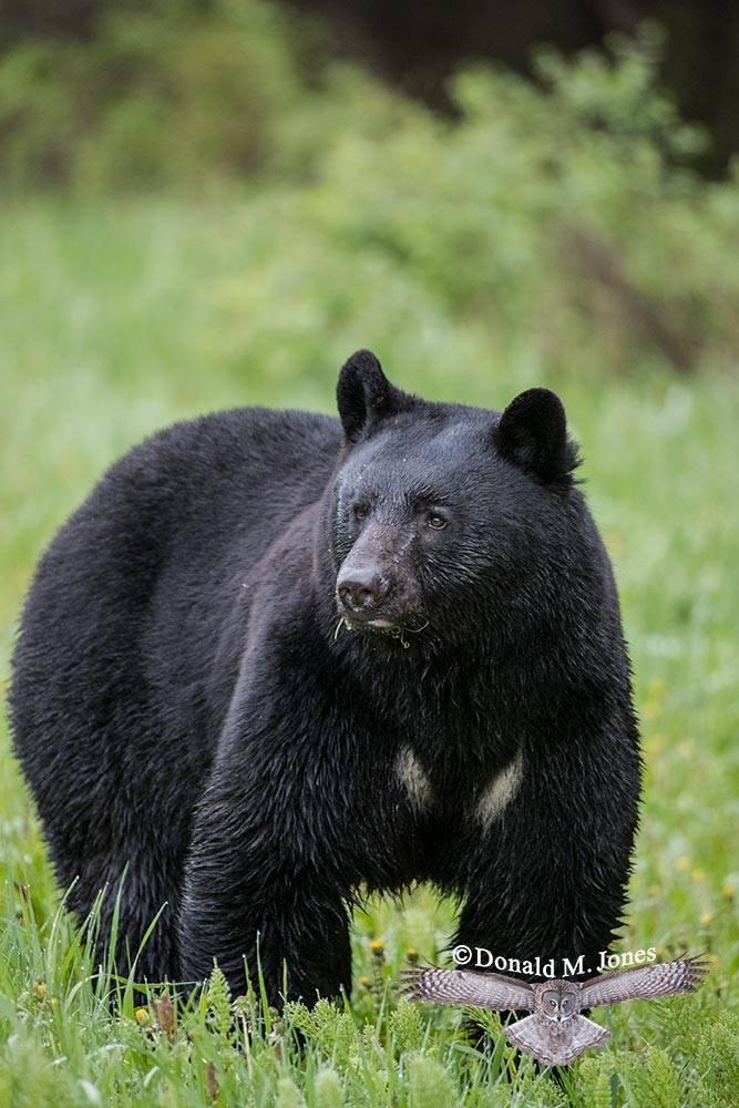 Black-Bear08030D