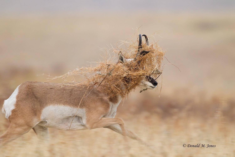 Pronghorn-Antelope03984D