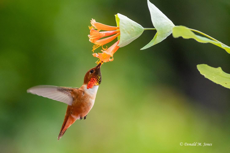 Rufus-Hummingbird0737D