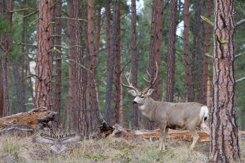 Mule-Deer07947D