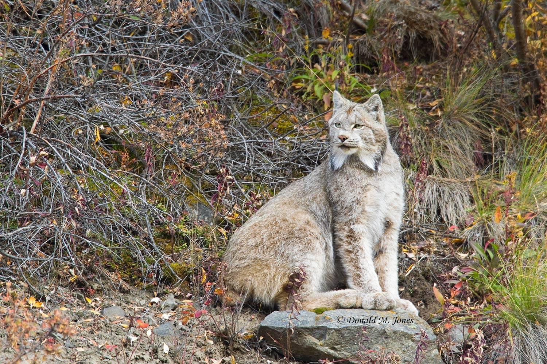 Canadian-Lynx0116D