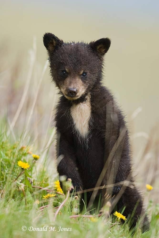 Black-Bear03733D
