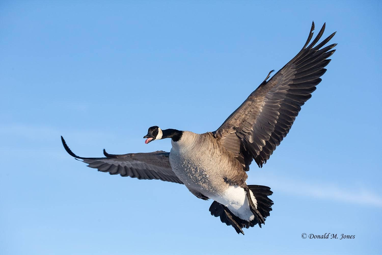 Canada-Goose1495D