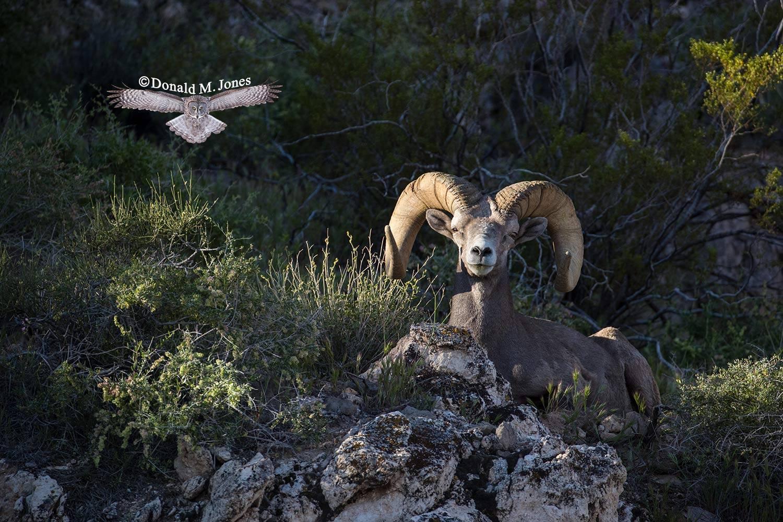 Desert-Bighorn-Sheep00903D