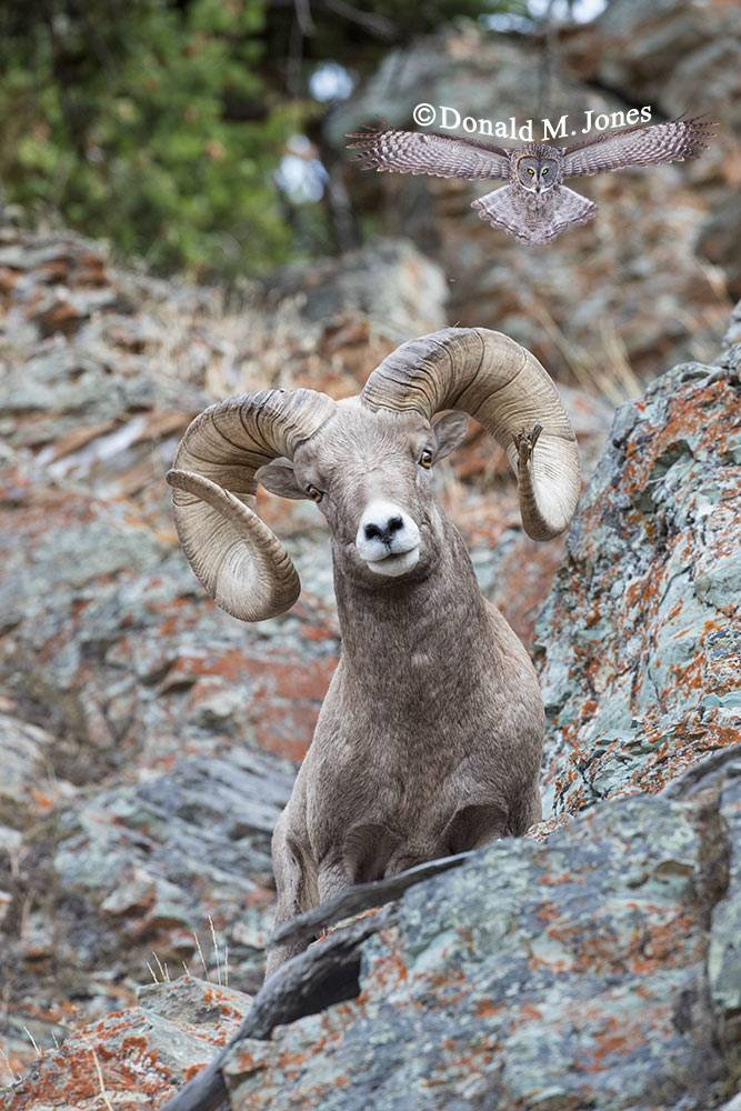 Bighorn-Sheep06183D