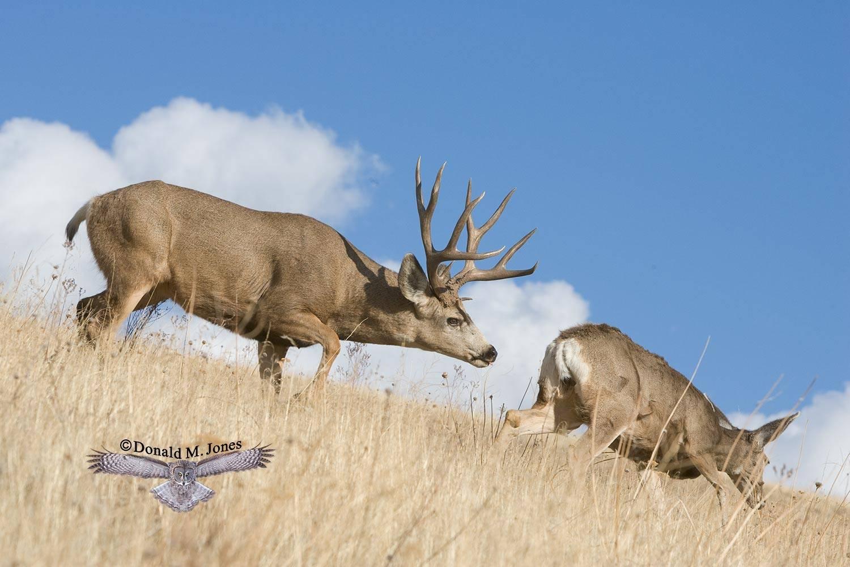 Mule-Deer06901D