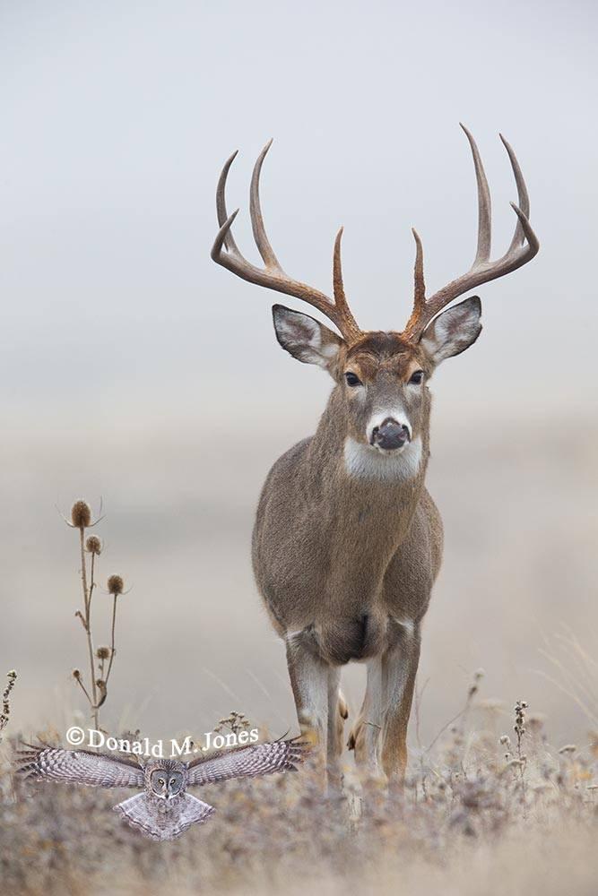 Whitetail-Deer47731D.