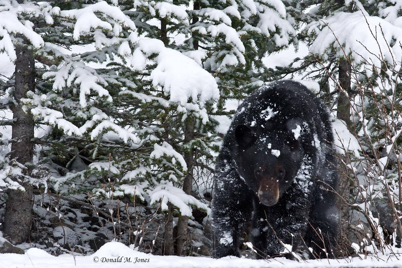 Black-Bear03935D