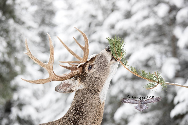 Whitetail-Deer54914D