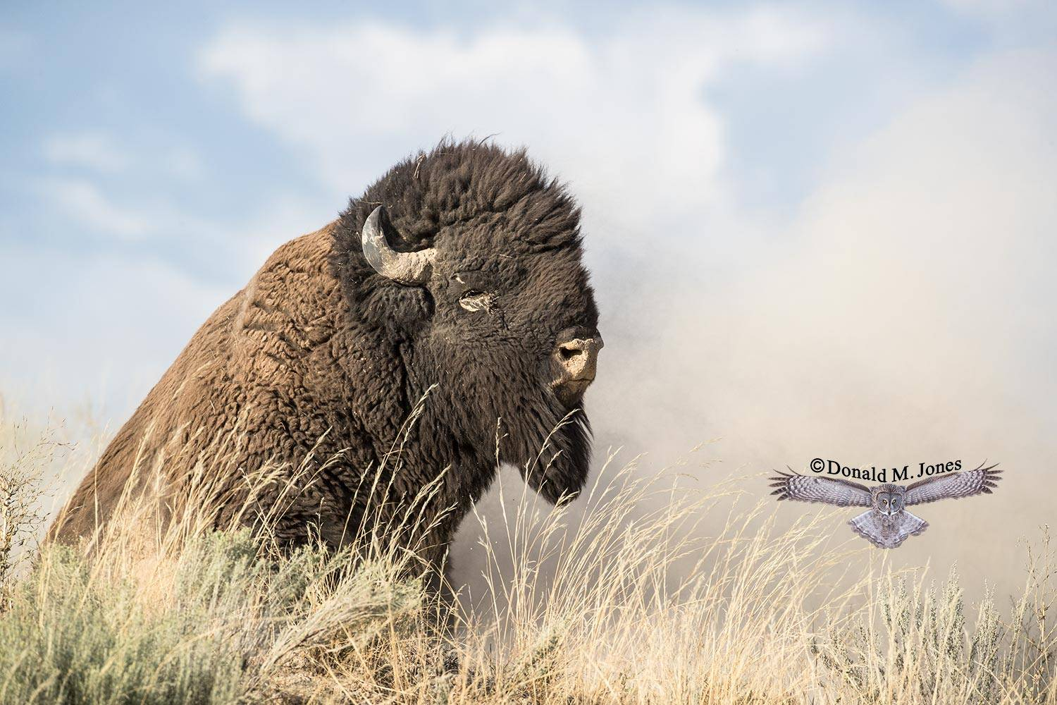 American-Bison02059D