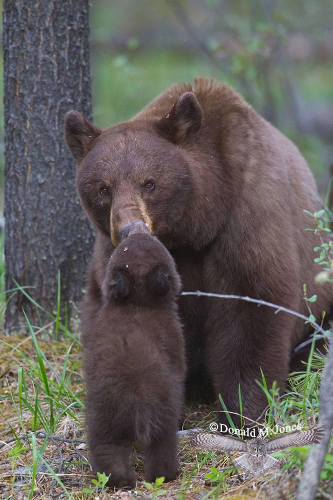 Black-Bear05509D