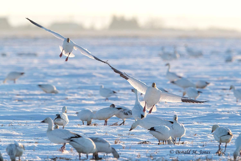 Snow-Goose2606D