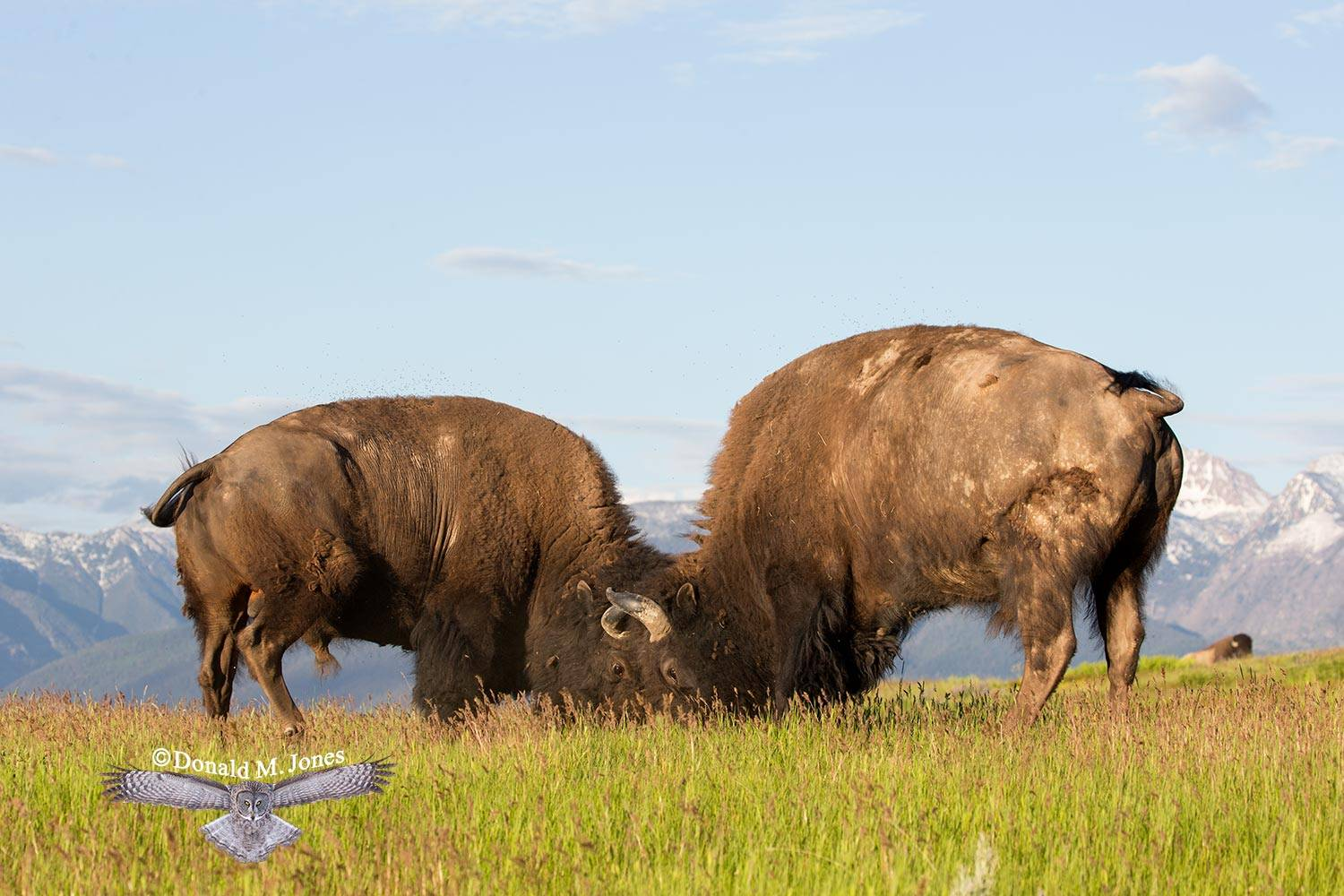 American-Bison02147D