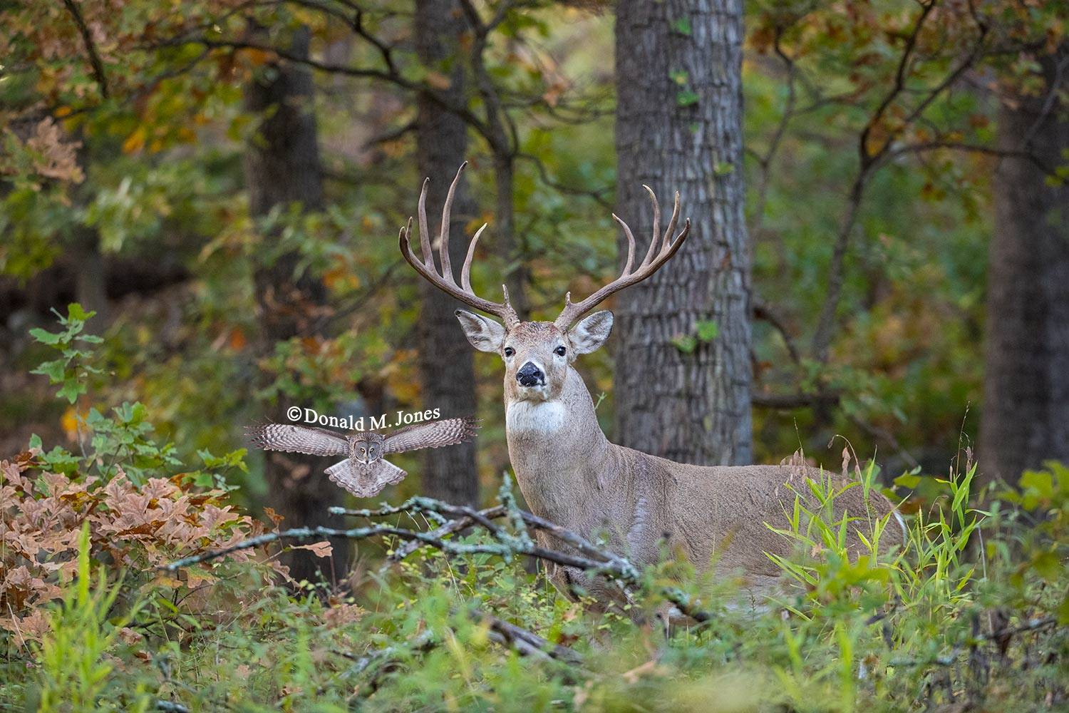 Whitetail-Deer53248D