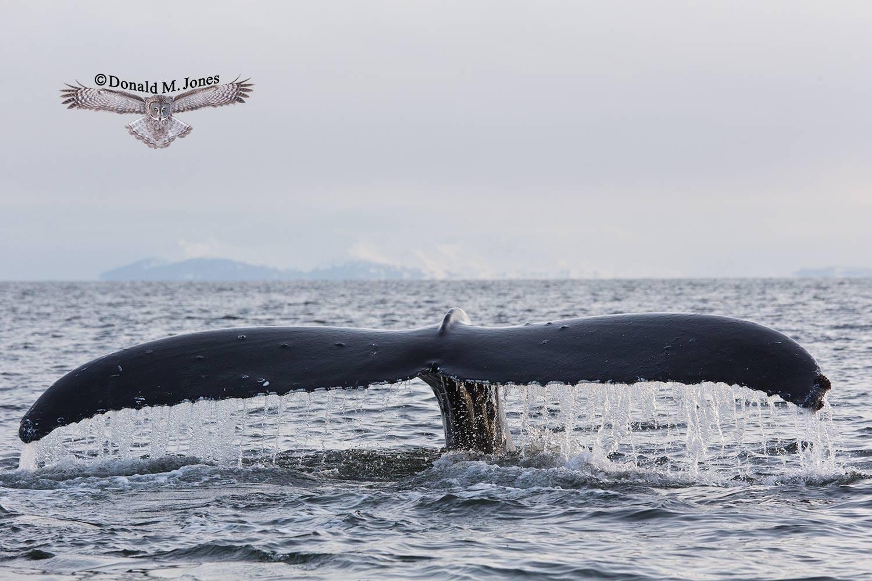Humpback-Whale0067D