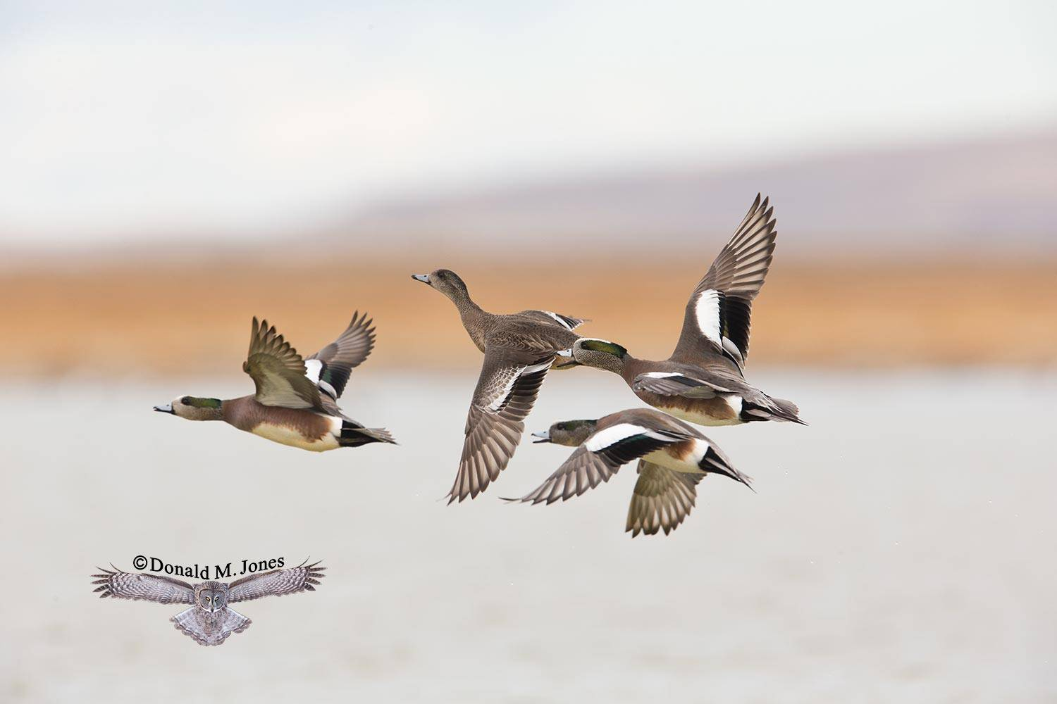 American-Wigeon0381D