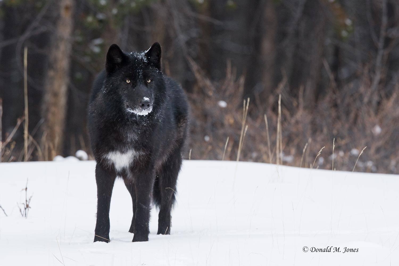 Wolf0347D